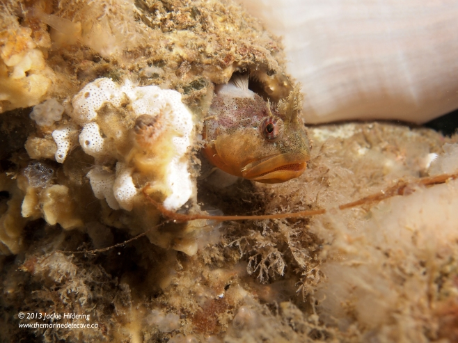Male Scalyhead Sculpin in a giant barnacle test. © 2013 Jackie Hildering