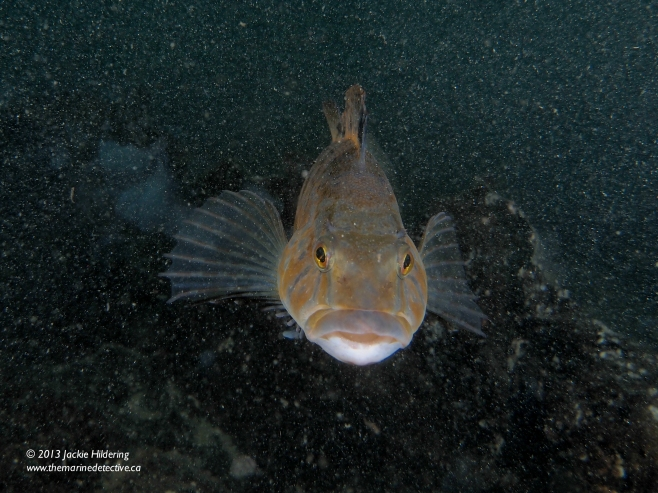 Male White-Spotted Greenling shortly after he nipped my big head in his intensity to guard his egg masses. © 2013 Jackie Hildering