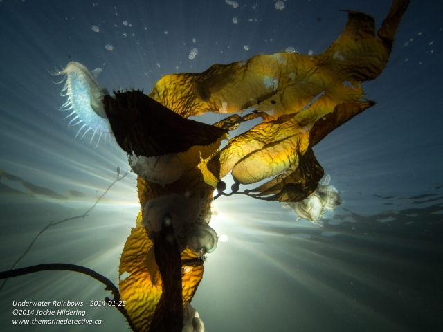 Hooded nudibranchs on giant kelp at about 3 m. © 2014 Jackie Hildering
