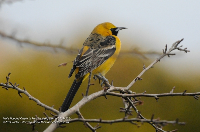 """The photo I sent to the bird experts, timidly asking if indeed this was a male Hooded Oriole. Jeremy Gatten, would recount in his blog """"I received an e-mail from Port McNeill resident Jackie Hildering about a bird that she thought might be a Hooded Oriole.  It's a good thing I was sitting on a couch because the attached photo would have knocked me to the floor if I was on a chair or stool!  The extremely crisp, full-frame shot showed a healthy, vibrant male Hooded Oriole in winter plumage."""" http://naturalestnaturalist.blogspot.ca/2014/01/a-dick-and-hoor-longest-hardest-wettest.html"""