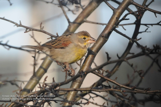 Female Dickcissel - quite difficult to discern her from the House Sparrows if the light is low and you can't see the yellow markings © 2014 Jackie Hildering
