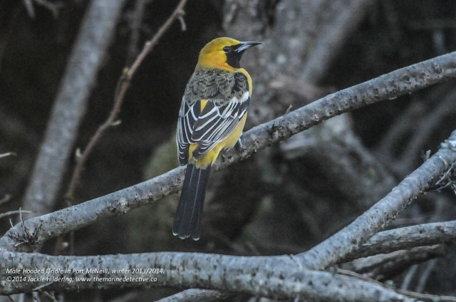Male Hooded Oriole. © 2014 Jackie Hildering