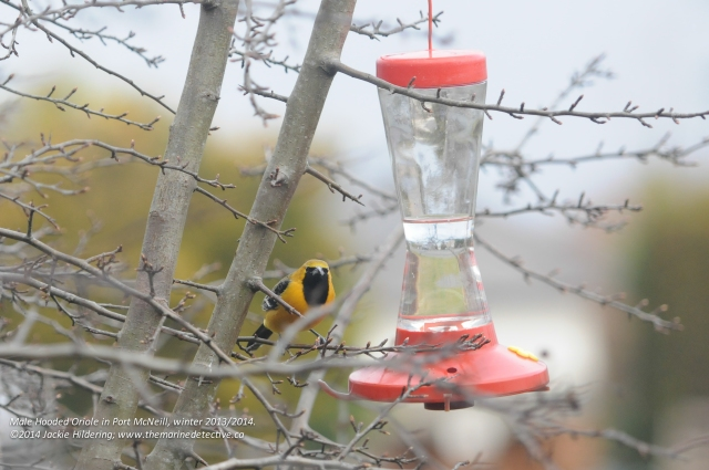 Male Hooded Oriole at the feeder. © 2014 Jackie Hildering