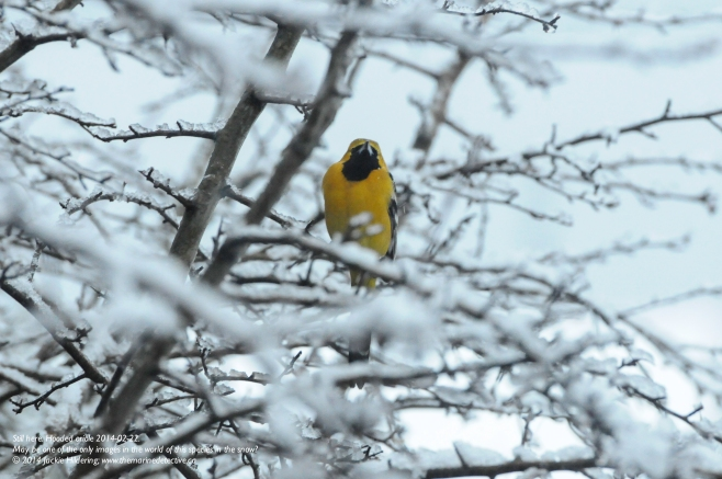 Still here- February 22nd, 2014. Maybe one of the only photos in the world of a Male Hooded Oriole in the snow? © 2014 Jackie Hildering