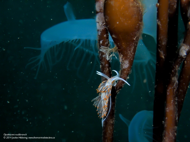 Opalescent nudibranch © 2014 Jackie Hildering; www.themarinedetective.ca