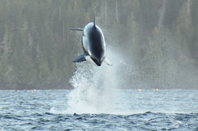A Mother Hunting – T140 in pursuit of a Pacific White-Sided Dolphin. Mammal-eating Killer Whales diverged from other populations ~700,000 years ago. ©Jackie Hildering; themarinedetective.ca.