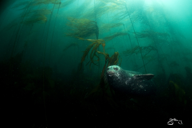 Pacific Harbour Seal emerging from a Bull Kelp forest. ©Jackie Hildering; http://www.themarinedetective.ca