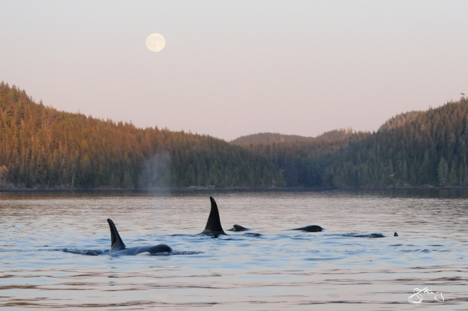 "Endangered ""Southern Resident"" Killer Whales by moonlight. Members of L-Pod passing through our area (inshore fish-eating killer whales). ©Jackie Hildering; themarinedetective.ca."