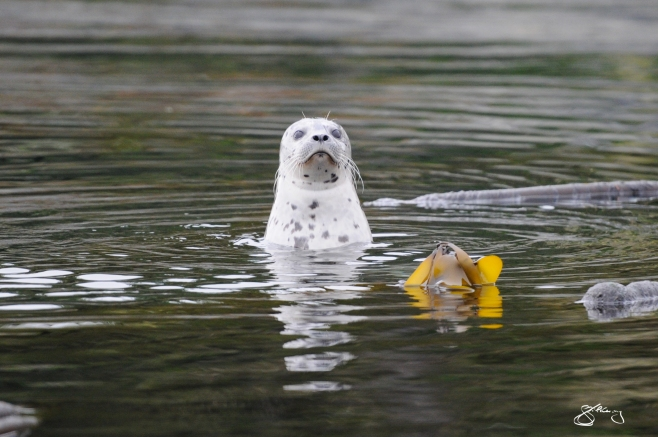 Pacific Harbour Seal surfacing in the midst of a kelp forest. ©Jackie Hildering; themarinedetective.ca.