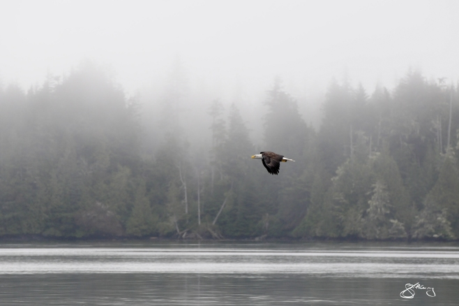 Bald Eagle soaring past mist-soaked Cedars. ©Jackie Hildering; themarinedetective.ca.