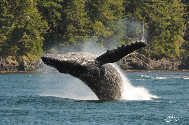 """KC"" the Humpback Whale breaching (#2); born in 2002 and here every year since. We have a 2nd chance with these giants. Whaling only ended in this area in 1967. ©Jackie Hildering; themarinedetective.ca."