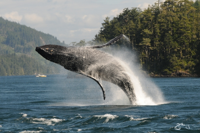 """KC"" the Humpback Whale breaching (#1); born in 2002 and here every year since. We have a 2nd chance with these giants. Whaling only ended in this area in 1967. ©Jackie Hildering; themarinedetective.ca."