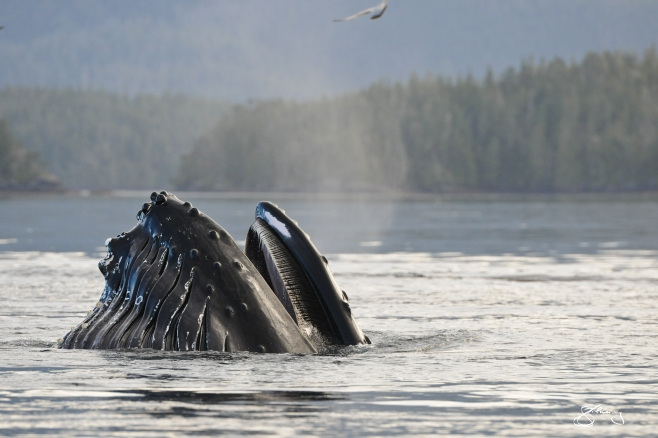"""Just breathe. """"Conger"""" the Humpback Whale exhaling at the surface. Throat pleats on left and baleen on right; breathing in the very air that you do. ©Jackie Hildering; themarinedetective.ca."""