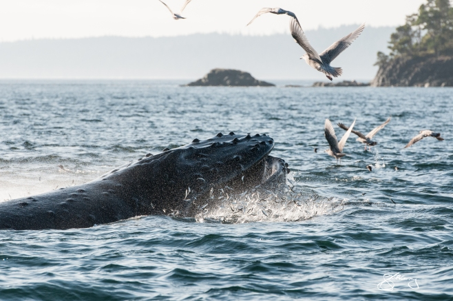 "Humpback Whale ""Inukshuk"" lunge-feeding on juvenile herring. ©Jackie Hildering; TheMarineDetective.ca."
