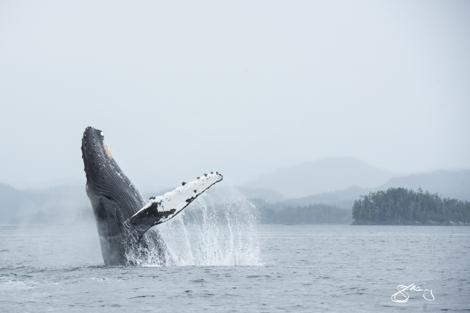 Humpback Whale Jigger breaching (BCX1188, female)©Jackie Hildering; TheMarineDetective.ca.