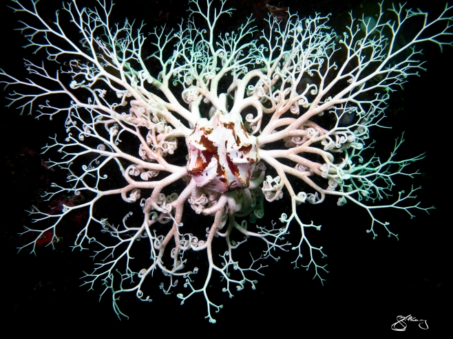Basket Star - surreal looking sea star species; up to 75 cm across. Their 5 arms branch to form an intricate net to trap food. ©Jackie Hildering; themarinedetective.ca.