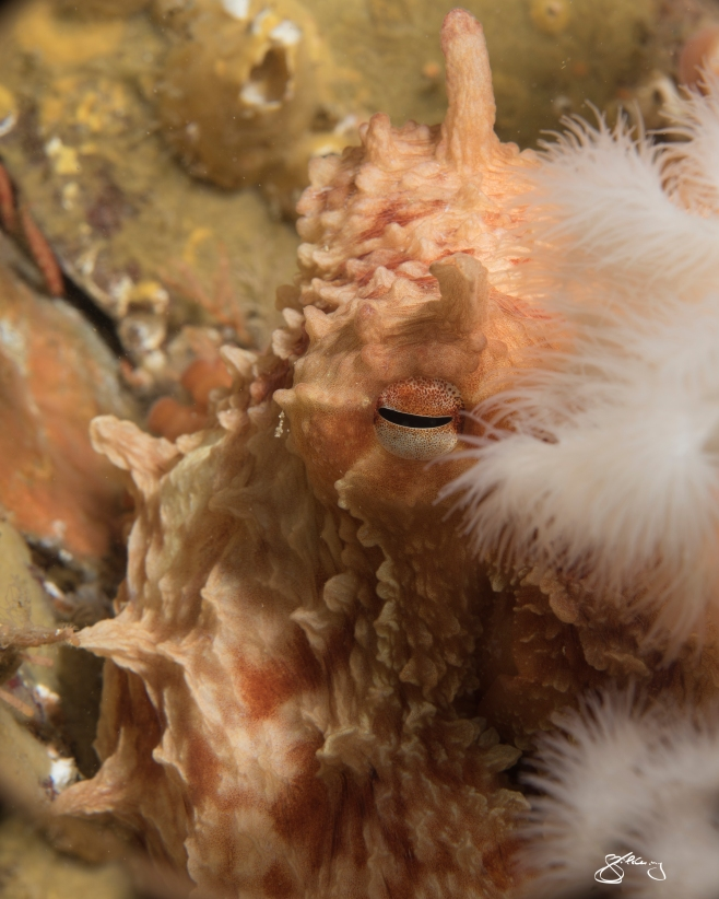 Juvenile Giant Pacific Octopus amidst Plumose Anemones. ©Jackie Hildering; themarinedetective.ca.