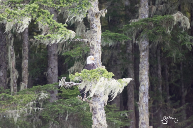 Mature Bald Eagle perched among lichen-draped Cedars. ©Jackie Hildering; themarinedetective.ca.