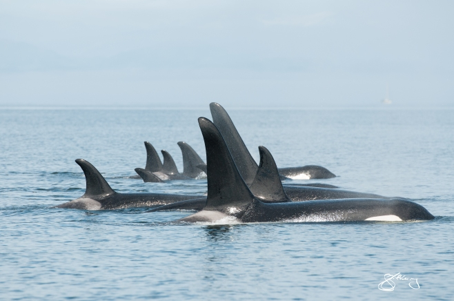 "We Are Family. 115 Matriline of ""Northern Resdients"" (inshore fish-eating Orca). ©Jackie Hildering; TheMarineDetective.ca."