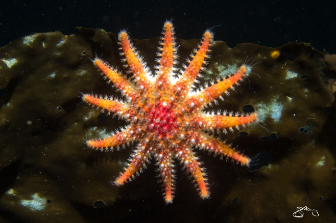 """Rose Star – species to 15 cm wide. A voracious predator that can """"race"""" at speeds of up to 70 cm / minute. ©Jackie Hildering; themarinedetective.ca."""