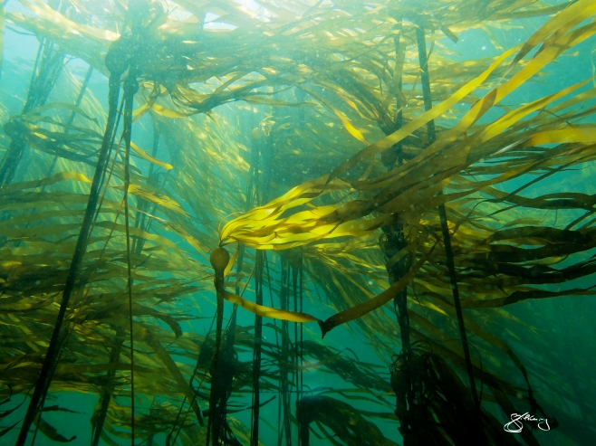 Bull kelp forest (Nereocystis luetkeana). Habitat for +/- 750 species and can grow up to 60 cm/day. About 70% of our oxygen comes from the sea - from these giant algae to the phytoplankton that make these cold, dark, rich waters appear emerald green. ©Jackie Hildering