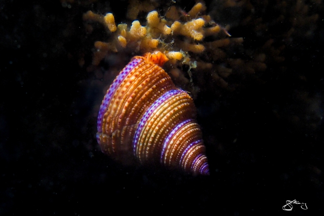 Purple-Ringed Topsnail - species to 4 cm wide. Brilliant ambassador for the colour and biodiversity of the NE Pacific Ocean. ©Jackie Hildering; themarinedetective.ca.