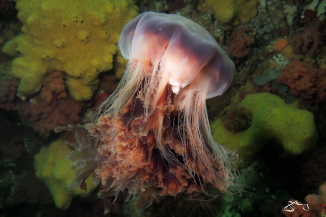 Lion's Mane Jelly drifting by a wall festooned with life. Species can be 2 m wide with 150 tentacles that extend to 9 m. ©Jackie Hildering; themarinedetective.ca.