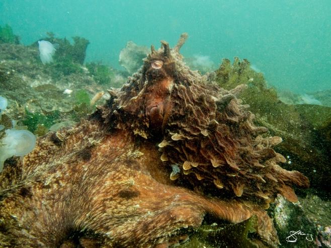 Giant Pacific Octopus out hunting. Hooded Nudibranchs around him/her. All local photos; themarinedetective.ca.