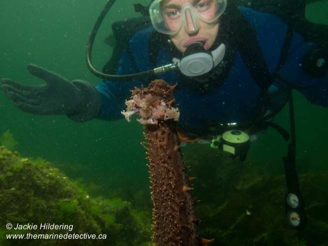 Giant Red Sea Cucumber with buddy Tavish Campbell. ©Jackie Hildering