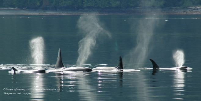 "Resting line of the A12 matriline of ""Northern Resident"" orca (inshore fish-eating population). ©Jackie Hildering"