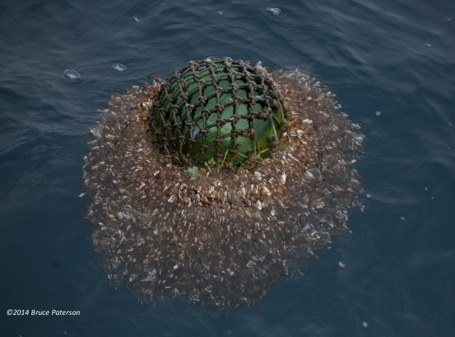 Glass ball covered with Pelagic Gooseneck Barnacles (Lepas anatifera). Photo: ©Bruce Paterson.