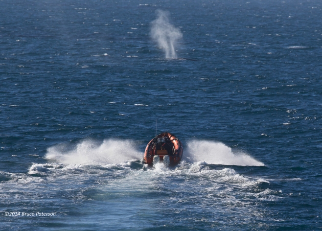 One of the +/- 150 sightings made of threatened Fin Whales. Photo ©Bruce Paterson.