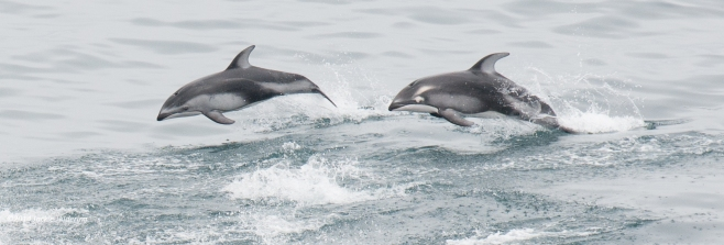 Pacific White-Sided Dolphin on the left has anomalous colouration - see the marking around his/her eye? ©Jackie Hildering