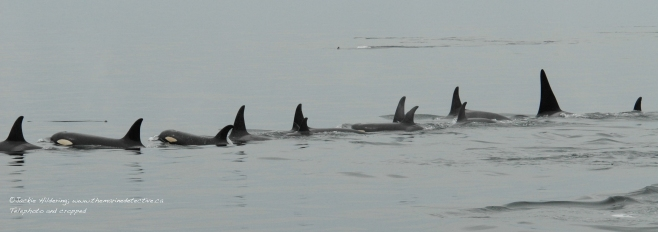 "Resting line of ""Northern Resident"" orca (inshore fish-eaters). ©Jackie Hildering"