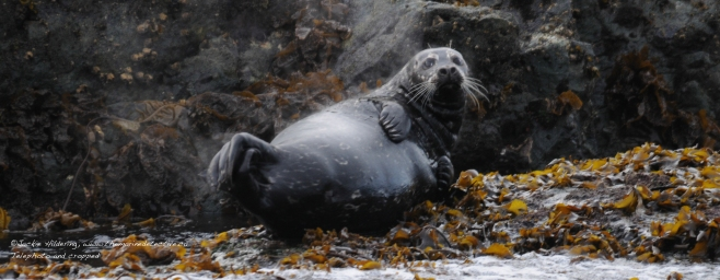 Pacific Harbour Seal about to give birth. ©Jackie Hildering