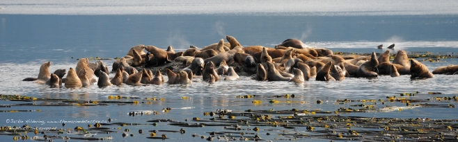 Steller Sea Lions socializing at the haul-out. ©Jackie Hildering.