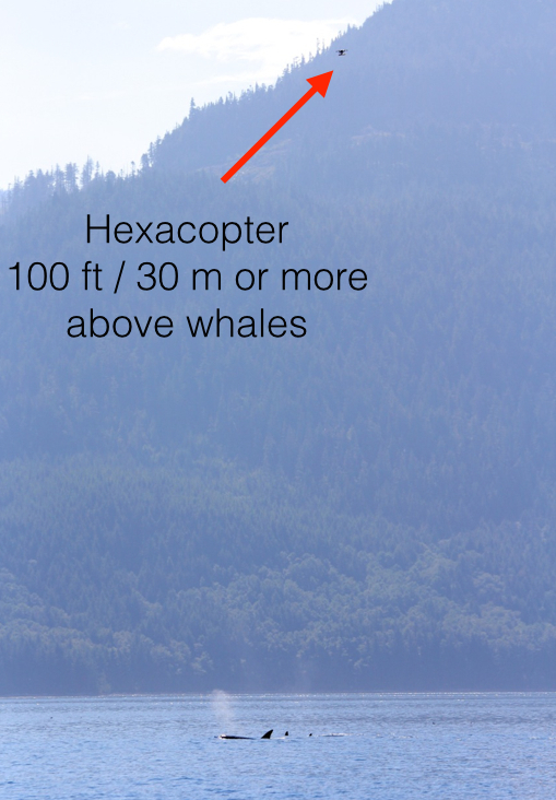 Photo by Laurie Sagle showing how high the hexacopter is above the whales.