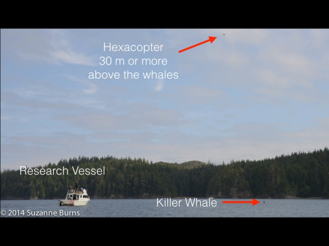 Photo by Suzanne Burns showing how benign this method of study is - the research boat is more than 100m away and the hexacopter with camera is 30 m or move above the whales.