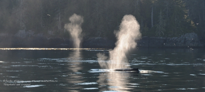 Humpback Whales resting at the surface. ©Jackie Hildering