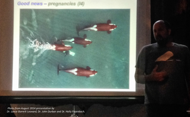 Happy news! Photo taken from the hexacopter revealing reveals that I4 is pregnant. Photo taken during presentation by Dr. Lance Barrett Leonard, Dr. John Durban and Dr. Holly Fearnbach at Telegraph Cove's Whale Interpretive Centre on August 25th, 2014. Photo: Jackie HIldering