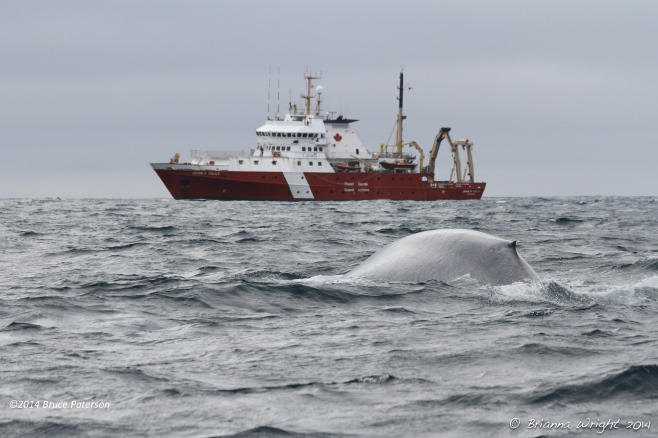 One of the 2 sightings made of endangered Blue Whales. Photo ©Brianna Wright.