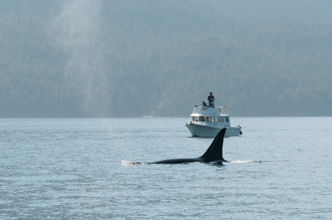 "Research methodology allowed for an assessment of the fitness of 77 ""Northern Resident"" Killer Whales (inshore fish-eaters) and 7 ""Bigg's"" Killer Whales (mammal-eaters aka ""Transients""). Here, mature male mammal-eating killer whale T060s is being photographed from on high."