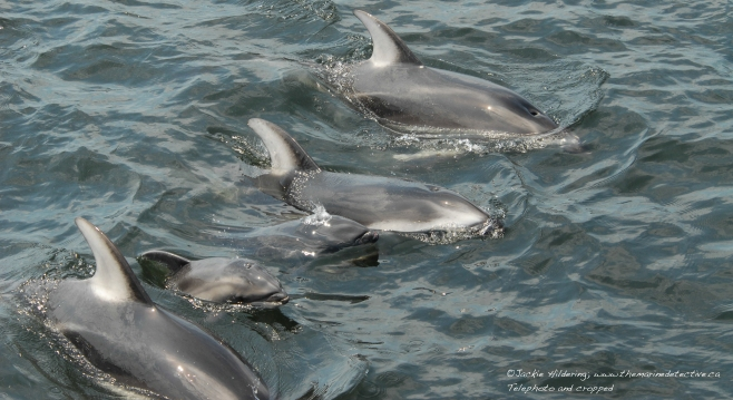 Pacific White-Sided Dolphins with new born calves. ©Jackie Hildering