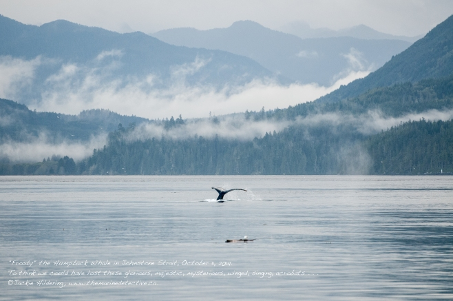 Frosty the Humpback Whale (BCX1187) in Johnstone Strait, October 11, 2014. Just outside Telegraph Cove. Blinkhorn Light in the background. ©Jackie Hildering.