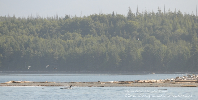 Northern Residents using a rubbing beach on Malcolm Island off NE Vancouver Island. For more information on these beaches see Friends of the Wild Side.