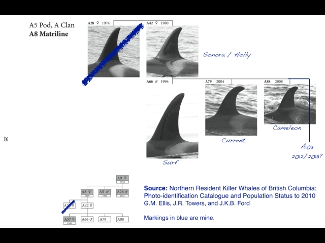 Markings in blue are mine. Source: Northern Resident Killer Whales of British Columbia: Photo-identification Catalogue and Population Status to 2010; G.M. Ellis, J.R. Towers, and J.K.B. Ford