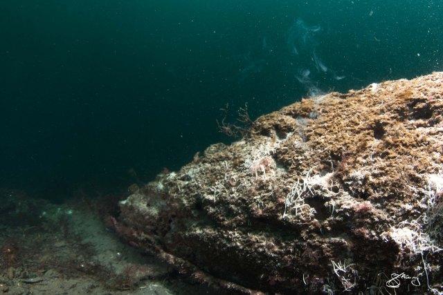 Teredo navalis spawning. March 8, 2015 ©Jackie Hildering.