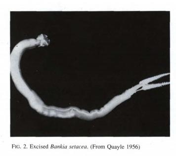 Northwest Shipworm Source: MARINE WOOD BORERS IN BRITISH COLUMBIA D. B. Quayle; 1992
