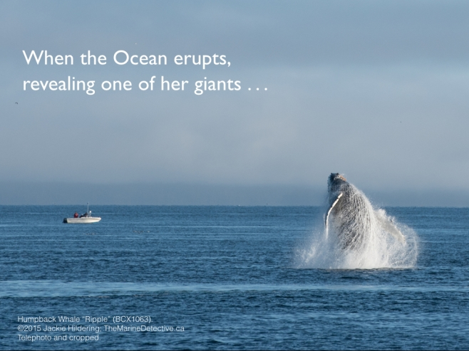 When the Ocean erupts, revealing one of her giants (Ripple the female Humpback Whale breaching; BCX1063). It's an opportunity to be awash in wonder, humility, connection, and gratitude. We all depend on the Ocean and where we go from here depends upon knowing while we are so small, our value systems and daily actions have such big impacts. How we consume; how we vote; how much we recognize our great capacity for positive change and how fear of change limits this . . . it's enough to bring giants back from the brink AND increase human happiness. ©2015 Jackie Hildering; #OceanVoice; www.TheMarineDetective.ca