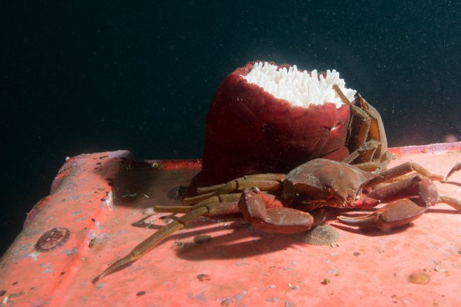 Northern Kelp Crabs and Rose Anemone atop a big chunk of plastic. ©Jackie Hildering; themarinedetective.ca.